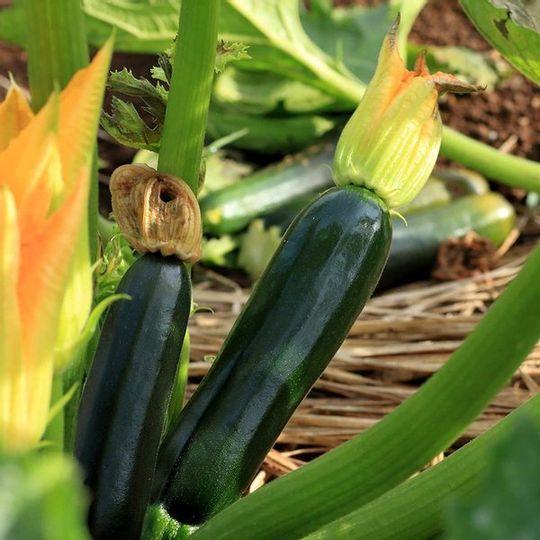 Organic Zucchini Marrow