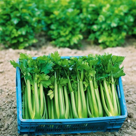 Organic Celery Stalks